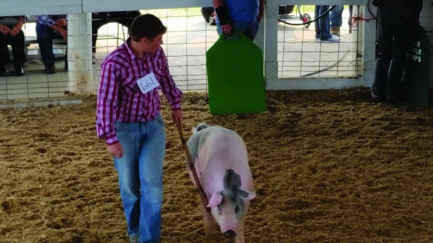 Chandler Kees walks and directs his pig to show it in a 4H competition.